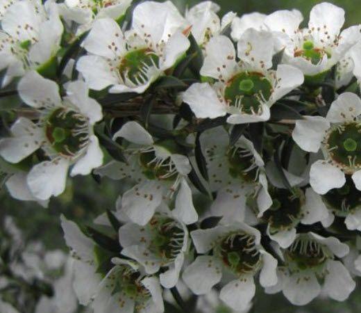 N – LEPTOSPERMUM CONTINENTALE- Prickly Tea Tree