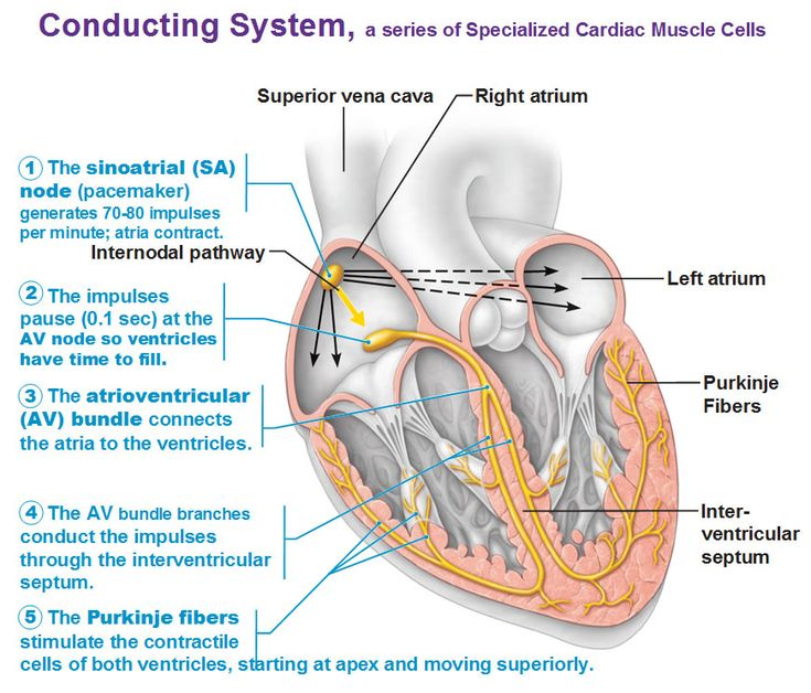 16 best conduction system of the heart images on pinterest nursing conducting system ccuart Images