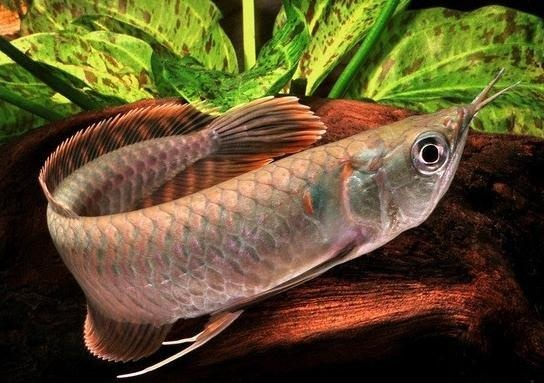 17 best images about freshwater aquarium on pinterest for Most aggressive freshwater fish