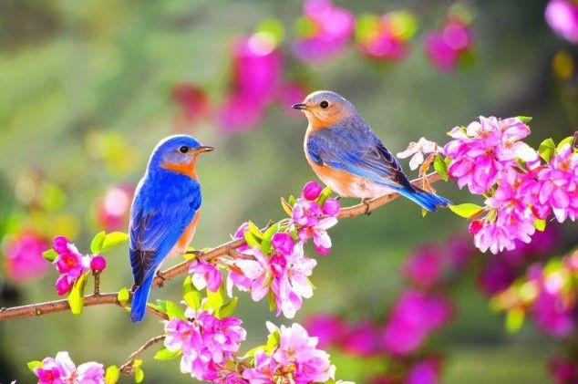 Bluebirds in spring