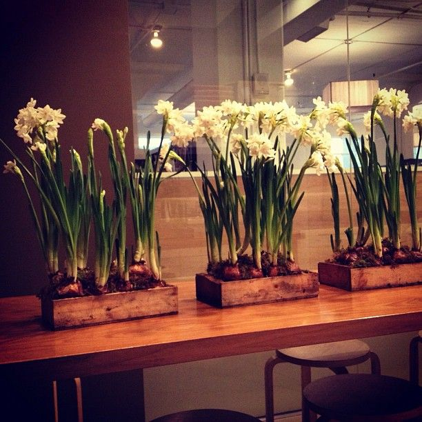 A garden of paper whites in the office today. Prepping for our #MilesRedd event!