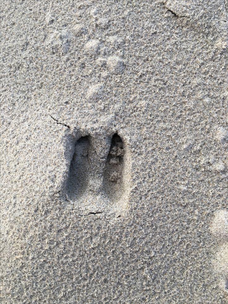 Reeën sporen in de duinen van Ouddorp•