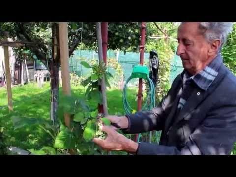 Ivan Hričovský: Pestovanie malín - YouTube