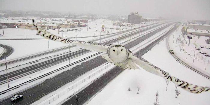 高速道路の監視カメラに偶然写った「シロフクロウ」が美しすぎる                                                                                                                                                                                 もっと見る