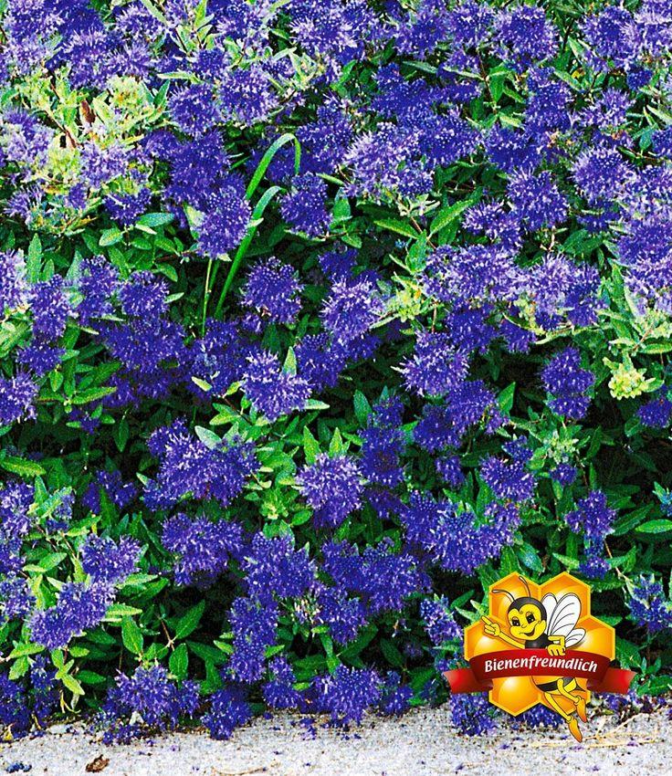 Zierstrauch Bartblume 'Blauer Spatz®'