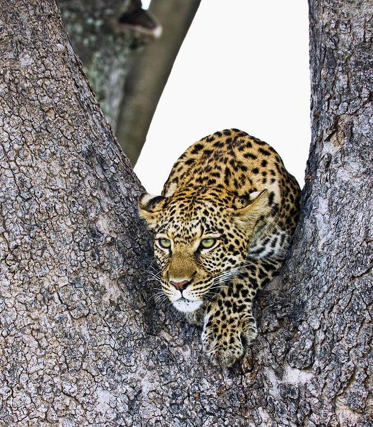 Leopard Panthera Pardus By Carson Ganci