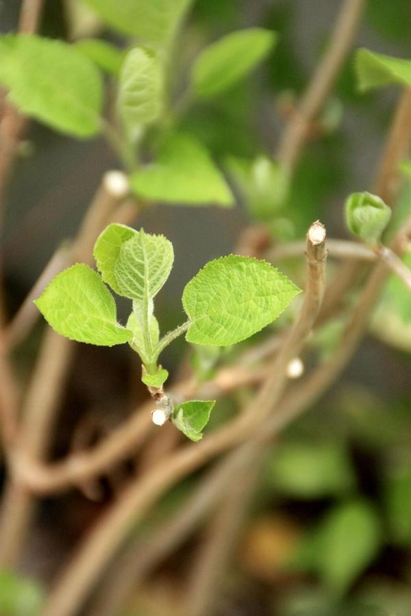 人気のアジサイ アナベル の剪定考察 レモンの木 ガーデニング 花 紫陽花 剪定