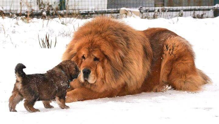 Tibetin Mastiff  Most Expensive Dog Breeds in the world by PetFluf.com