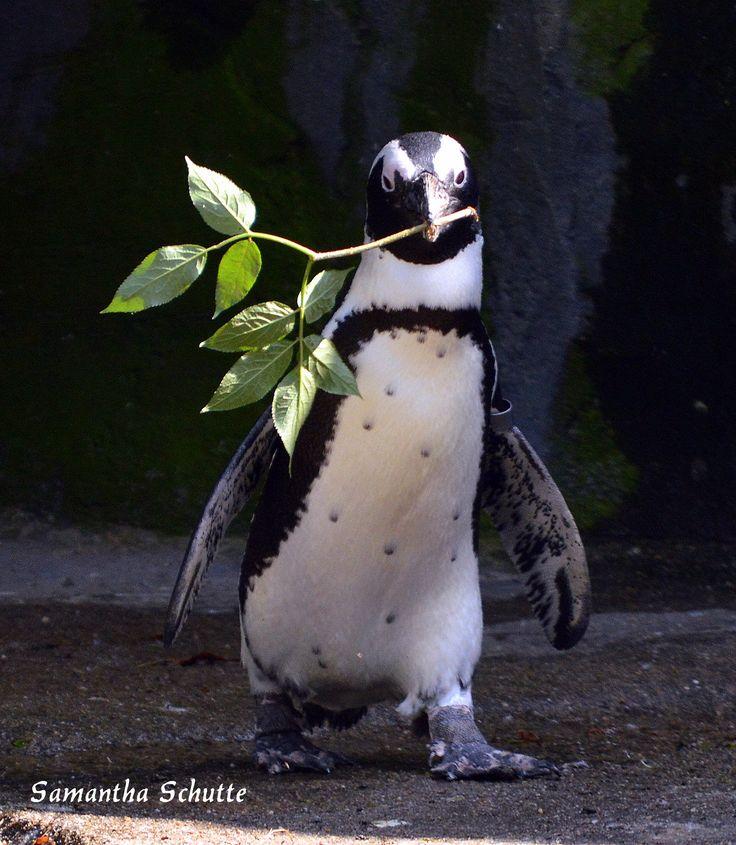 African penguin, Artis