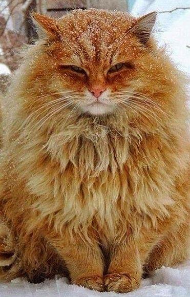 Norwegian forest cat ginger
