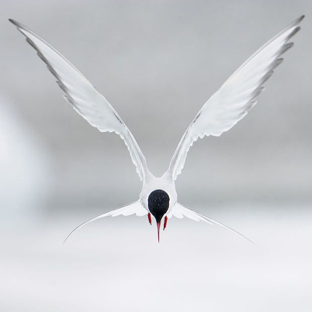 Arctic Tern (Sterna paradisaea) hovering in flight, Iceland Picture: Markus Varesvuo / Rex Features