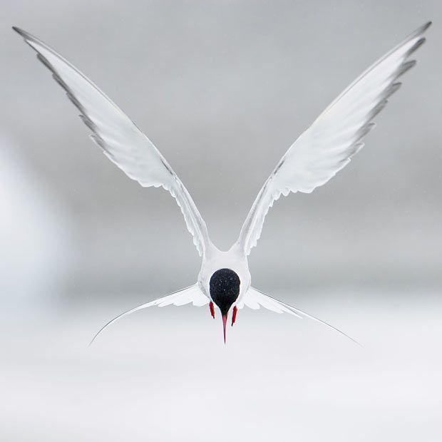 Arctic Tern (Sterna paradisaea) hovering in flight -Iceland by Markus Varesvuo
