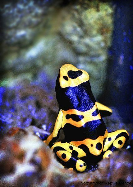 Yellow and Black Poison Arrow Frog