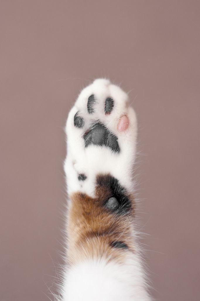 Patte de chat