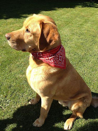 Labrador For Sale Devon You Want This Labradorpuppieshawick
