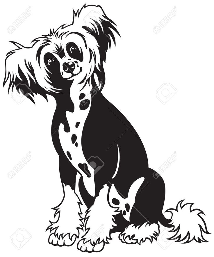 Dog,chinese Crested Breed,black And White Vector Picture ...