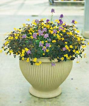 A Full Sun Patio Pot: (1) Sundaze U0027Golden Beautyu0027 Bracteantha,
