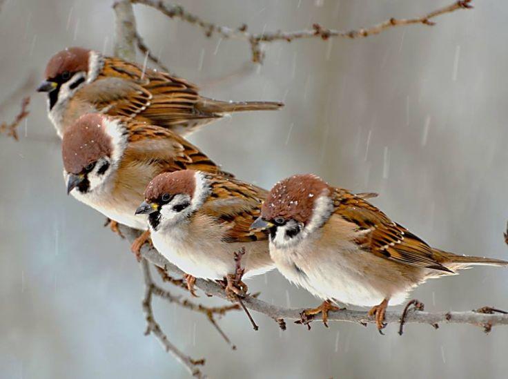 De mussen moeten ook zeker aanwezig zijn in het toneelstuk. In het begin moeten ze gelukkig zingen en rondvliegen. Als de liefde sterft, stoppen ze echter met zingen. Op deze manier valt deze stilte extra op.