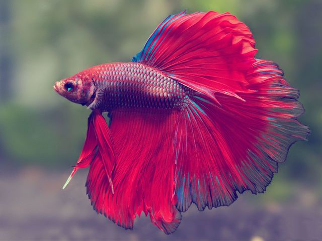 Best 25 live fish ideas on pinterest diy crafts quick for What kind of fish can live with a betta