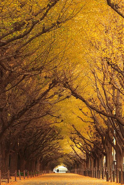 "GINKGO TREE TUNNEL, JAPAN Ginkgo biloba is a highly venerated tree in Japan.This tree is regarded as "" the bearer of hope "", ""the survivor"", ""the living fossil"""