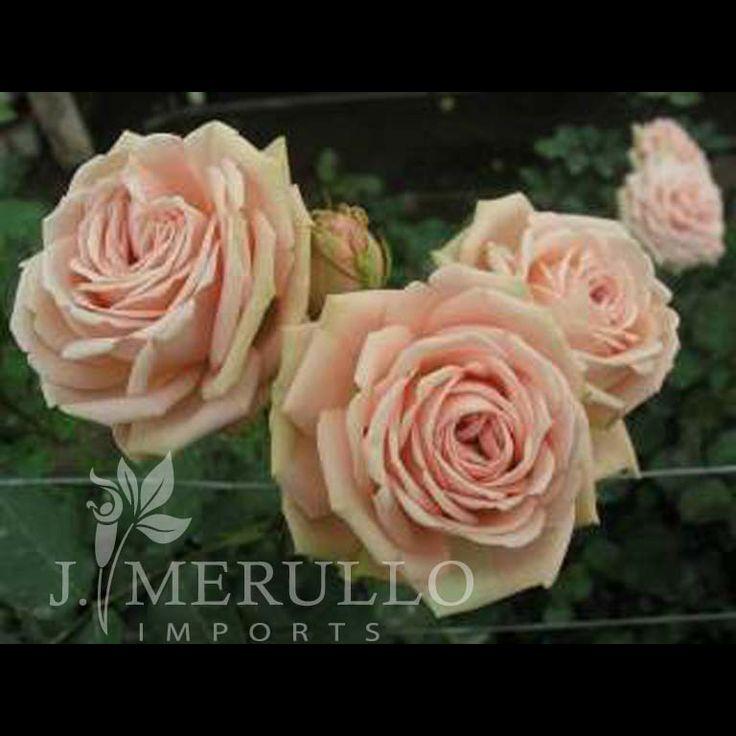 156 best pink/ mauve flowers images on pinterest   mauve, pink