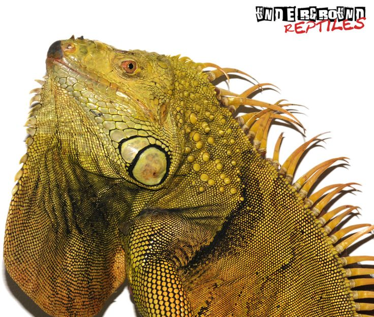 4 6 Foot Green Iguana For Sale