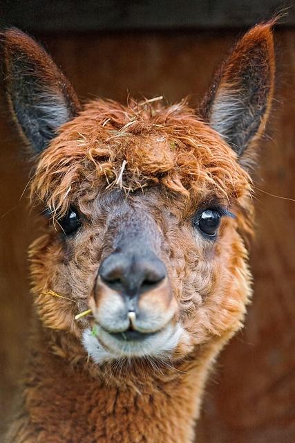 How do you spell adorable   -    alpaca