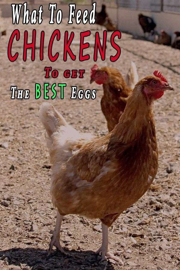 What To Feed Chickens To Get The Best Eggs In 2020 What To Feed Chickens Chicken Diy Chickens Backyard