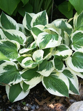 Hosta Patriot Hostas are some of the easiest plants to grow. They are also easy to divide. This Patriot variety is tolerant of sun, shade, wet, or dry soil. It also has lovely lavender flowers that shoot up later in the summer.