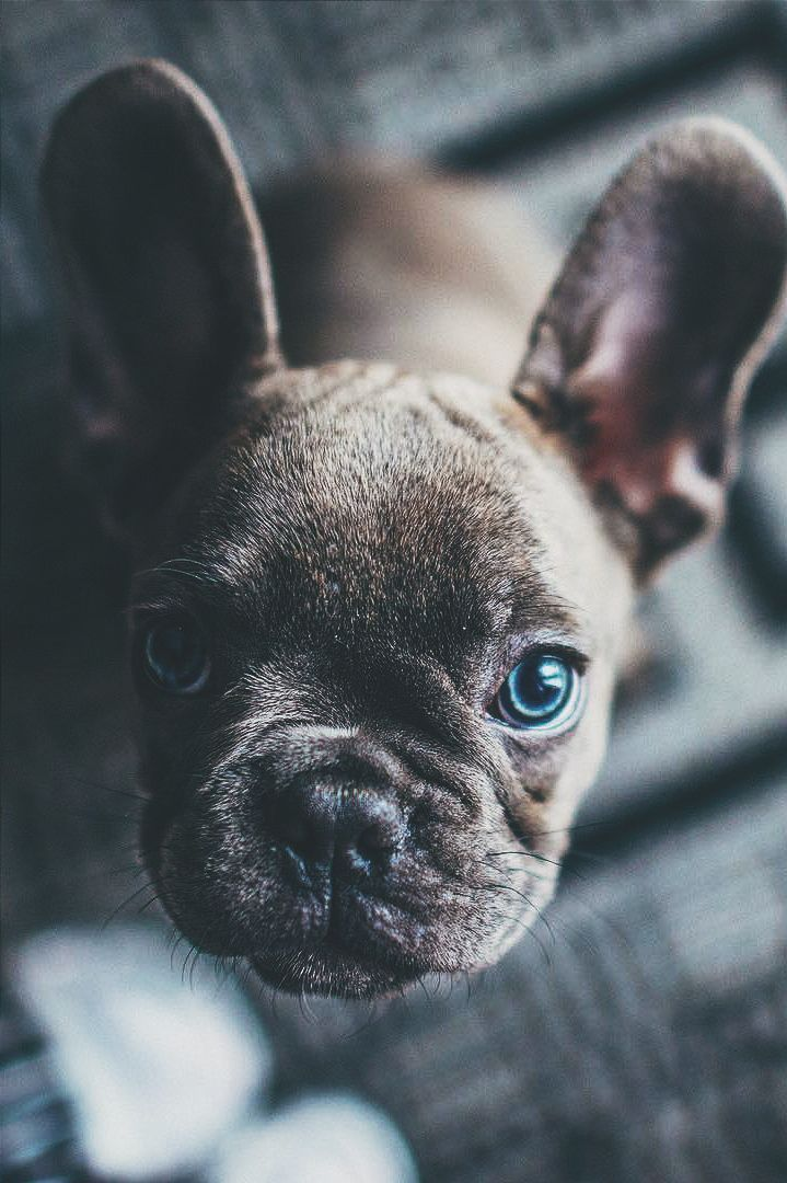 american french bulldog the 25 best blue french bulldog puppies ideas on 2546