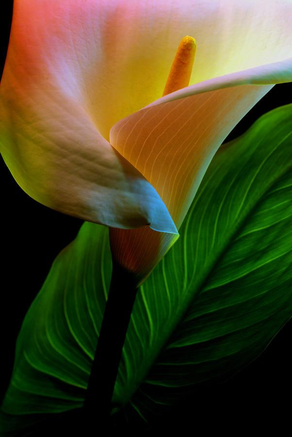~~Calla Lily by Dung Ma~~