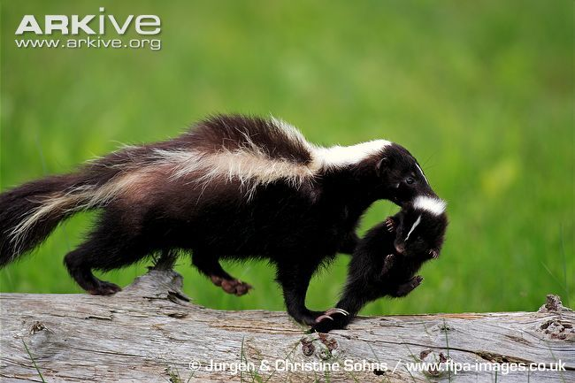 STRIPED SKUNKS.....found in Canada, the USA and Northern Mexico....one of the most distinctive animals found in North America.....measures 22 - 30 inches long with a 7 - 10 inch tail and a weight of 5.5 - 14 lbs.....color patterns of the fur vary greatly....often kept in barns to kill rats and mice during the 19th century