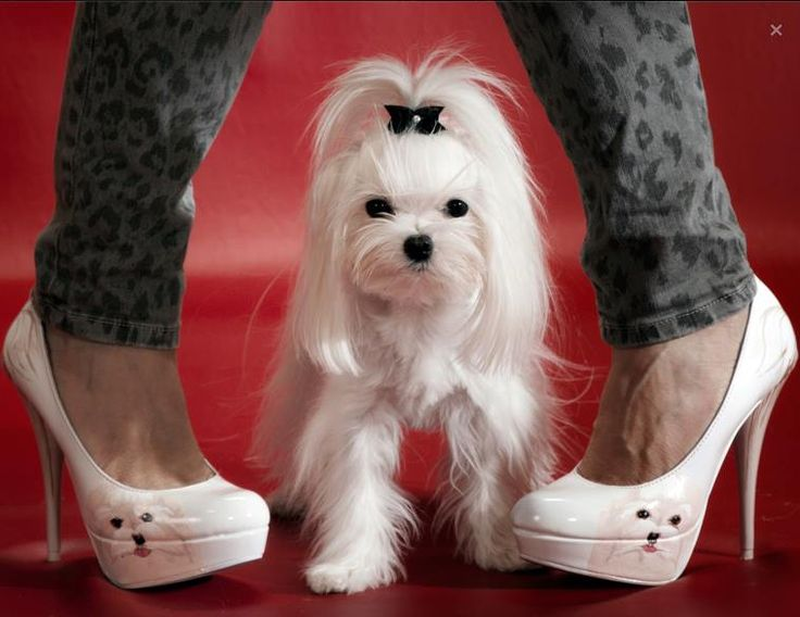 "Diva Doggie pictured on Miss Diva""s Shoes."