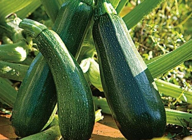 Ordinaire Planter Des Courgettes En Pot #6: Planter La Courgette En Pot Ou Jardinière