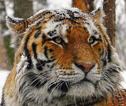 Tiger with snow on his head. He does not look too happy, but so beautiful!