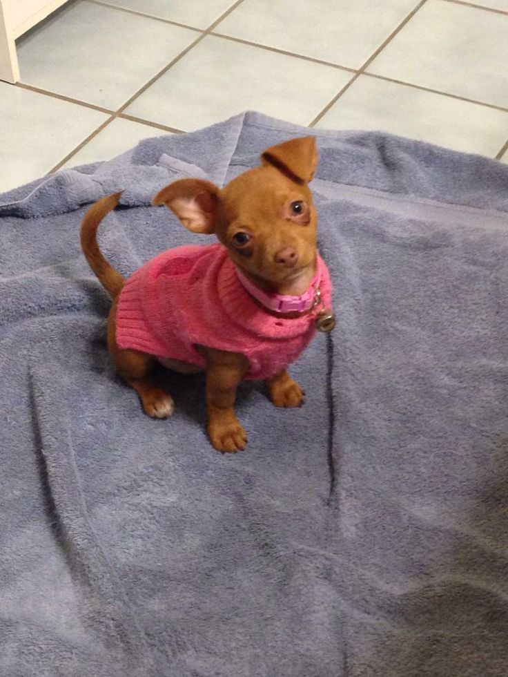 Snickers* Puppy* Yorkshire Terrier Yorkie & Terrier Mix • Baby • Female • Small Twenty Paws Rescue Cresco, PA