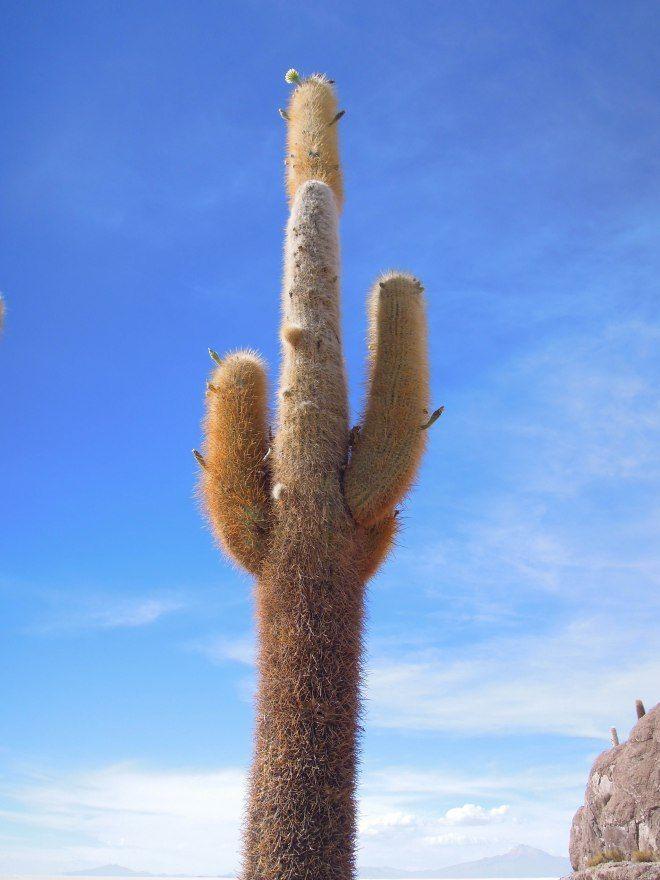 Cacti in the middle of the Salt Flats | Salar de Uyuni || Bolivia