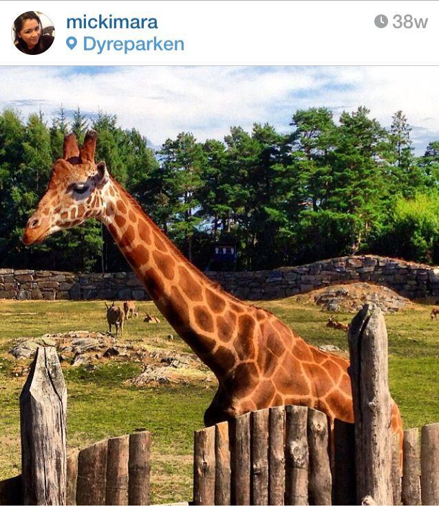 Jirafa - Giraffe - Sjiraff Kristiansand Dyreparkens