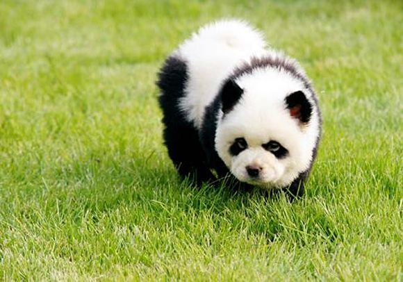 Puppy that looks like a Panda