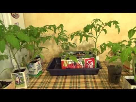 Преимущества февральской рассады томатов.