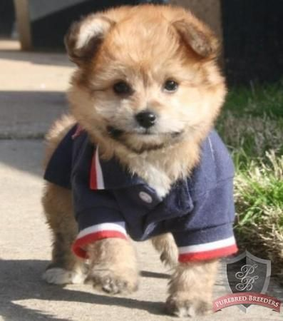 Pomapoo (poodle-pomeranian mix)...how cute!!!