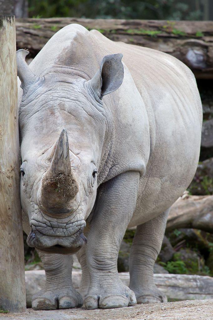 -vvaste:  Shy Rhino (by ANZ787900)