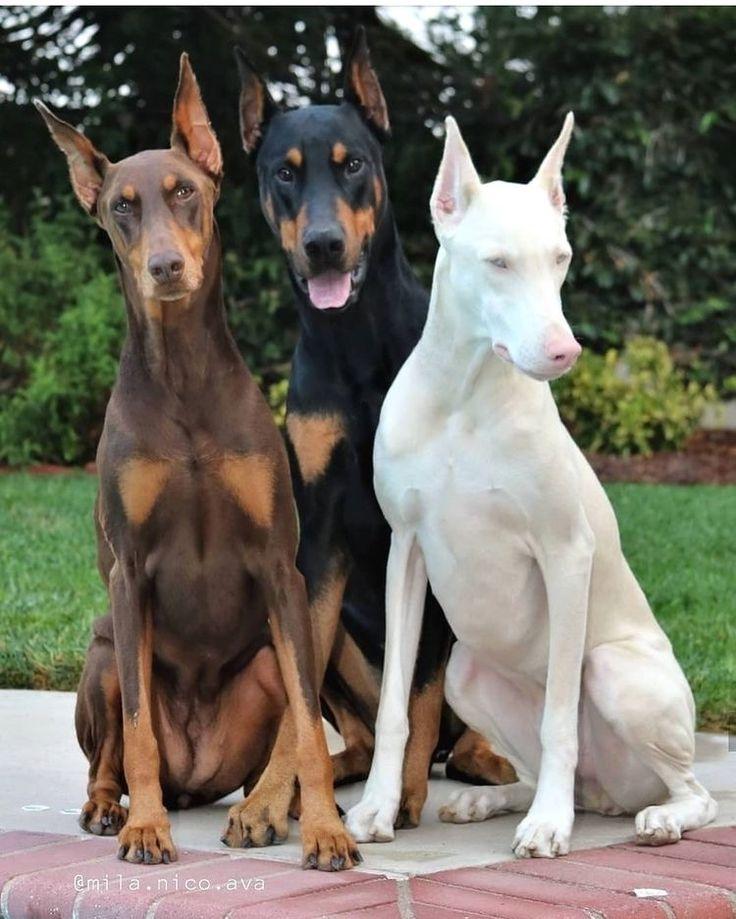 Doberman Pinscher Stud Service | Stud Dog Central