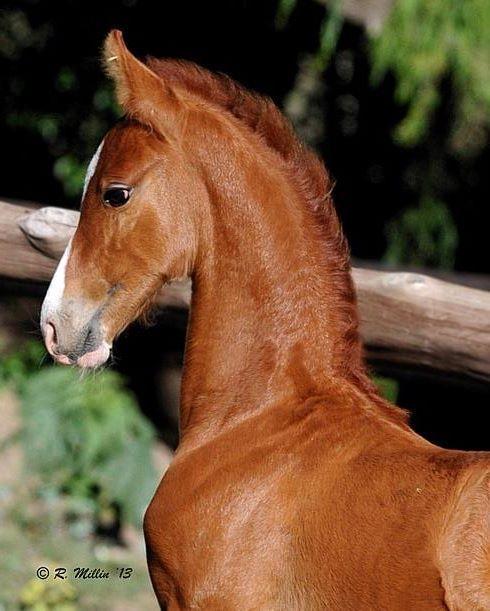 Saddlebred foal