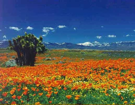 Lancaster, CA : Antelope Valley Poppy Reserve--west Lancaster, California