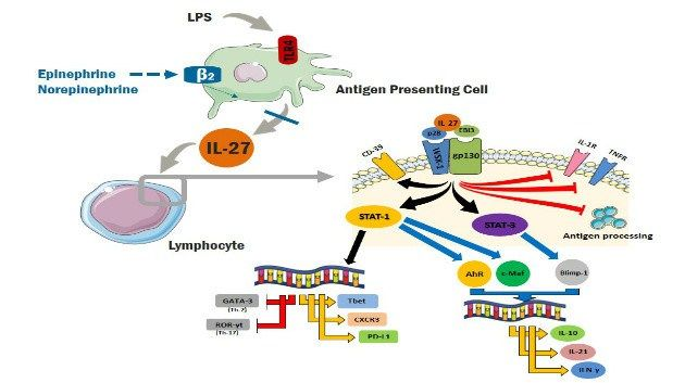 First Evidence that Catecholamines Inhibit IL-27 Production by Antigen Presenting Cells