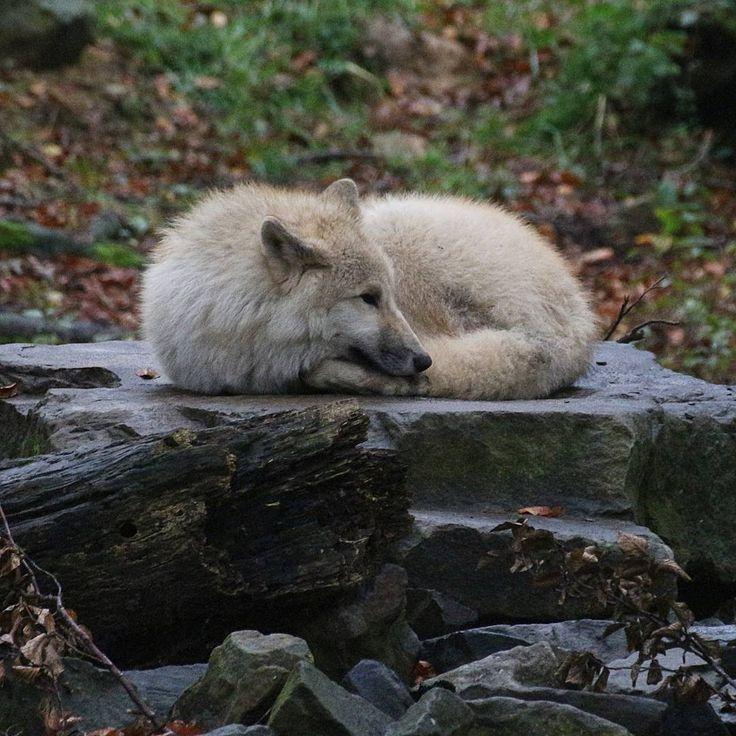 #mondaymadness Bei den Wetter hilft nur eins: zusammenrollen und abwarten - so wie diese flauschige Hudson-Bay-Wolfs-Kugel  - How to survive monday: coil up ans pretend not being there #youcantseeme  #zooosnabrück #zooosnabrueck #zoo #osnabrück #osnabrueck #instaanimal #wolf #wolfsgeheul #fluffy #flauschig #incognito #manitoba #zeitmitderfamilie #familienzeit #familytime #mondaymood #mondaymotivation #monday #montag