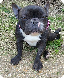 Pictures of Bijou a French Bulldog for adoption in Bridgeton, MO who needs a loving home.