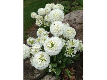 Bollviva, Primula Denticulata, vit. Bollviva, Primula Denticulata, vit, 25 cm hög. Ursprung Himalaya, för rabatt eller stenparti. Lyser som vita klot. Blommar på våren. Sprider sej bra. Planta.
