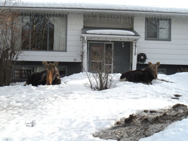 Meanwhile in Canada...  Cow and Calf Moose snoozing most all afternoon in front of an Edson Residence  Edson, Alberta